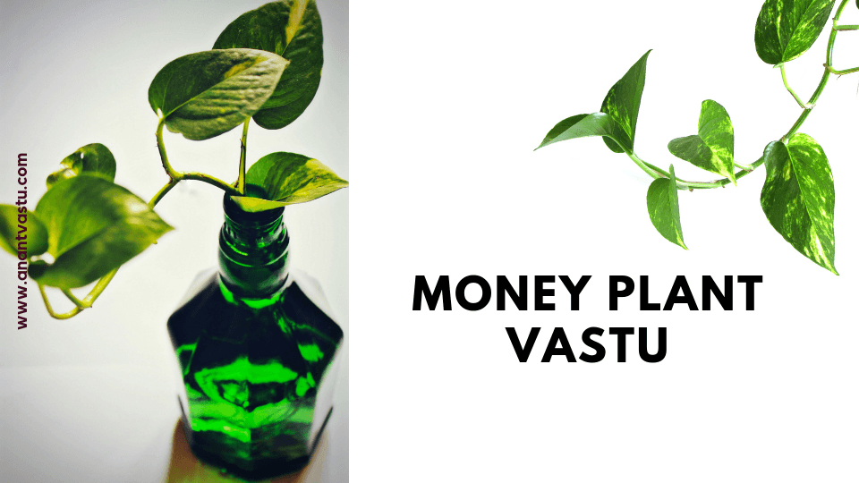 Money Plant Vastu Benifits And Placement Of Money Plant At Home